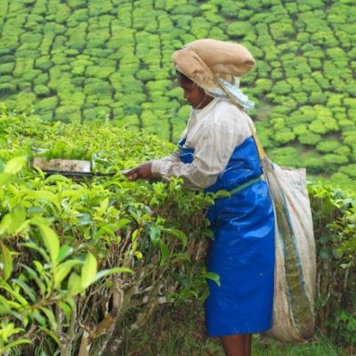 campi del te' a Munnar